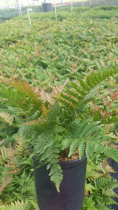 Dryopteris erythrosora 'Brilliance' - 1 Gal. Crop Shot for 2019-34