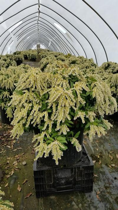Pieris japonica 'Avalanche' - 5 Gal. Crop Shot for 2019-16