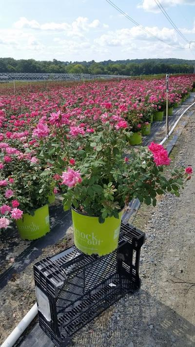 Rosa 'Double Pink Knockout' - 3 Gal. Crop Shot for 2019-32