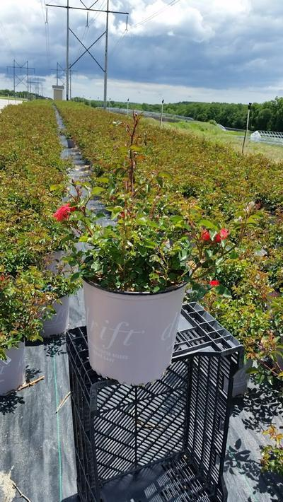 Rosa 'Drift Coral' - 2 Gal. Crop Shot for 2019-23