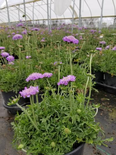 Scabiosa caucasica 'Butterfly Blue' - 1 Gal. Crop Shot for 2020-17