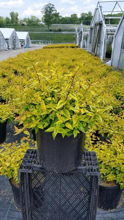 Abelia x grandiflora 'Kaleidoscope' - 3 Gal. Crop Shot for 2019-21