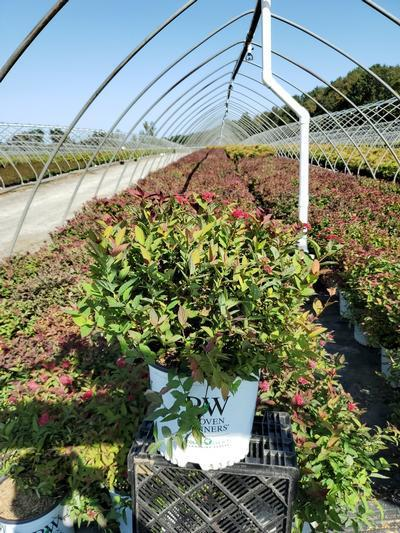 Spiraea jap. Double Play® Doozie™  NEW - 3 Gal. Crop Shot for 2020-39
