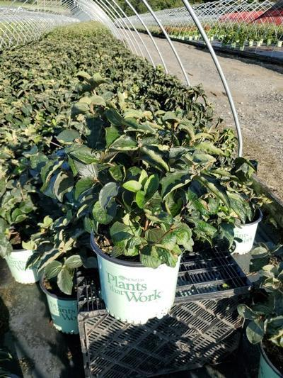 Viburnum carlesii Spice Island® NEW - 3 Gal. Crop Shot for 2020-36