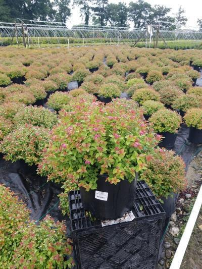 Spiraea japonica 'Magic Carpet' - 3 Gal. Crop Shot for 2020-31