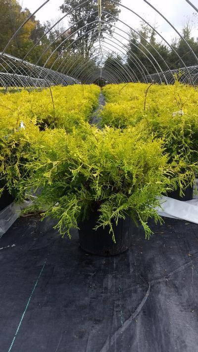 Chamaecyparis pisifera 'Vintage Gold' - 3 Gal. Crop Shot for 2019-42