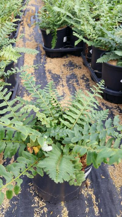 Polystichum acrostichoides - 1 Gal. Crop Shot for 2019-36