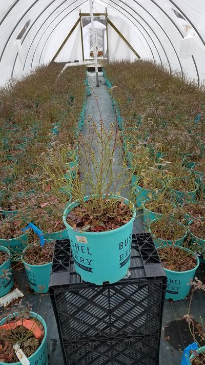 Vaccinium 'Blueberry Glaze' - 2 Gal. Crop Shot for 2020-12