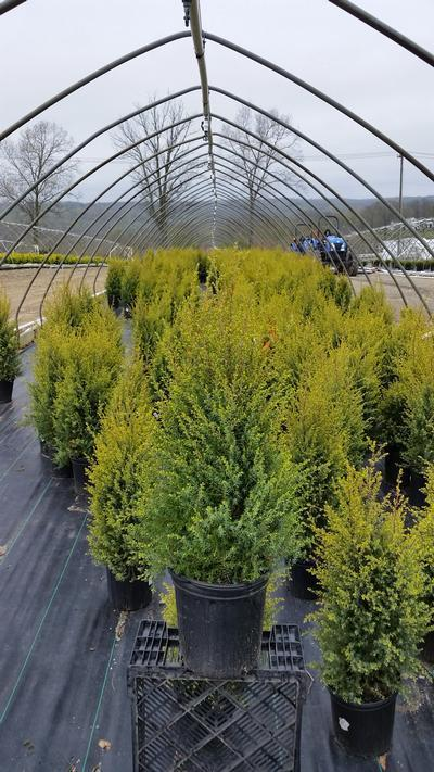 Juniperus communis 'Gold Cone' - 2 Gal. Crop Shot for 2019-17