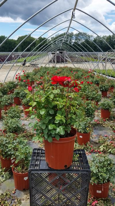 Rosa True Passion™ Rose - 2 Gal. Crop Shot for 2019-24