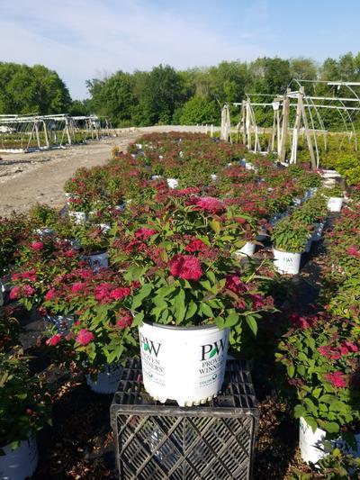 Spiraea jap. Double Play® Doozie™  NEW - 3 Gal. Crop Shot for 2020-24
