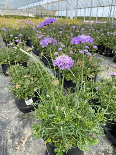 Scabiosa caucasica 'Butterfly Blue' - 1 Gal. Crop Shot for 2020-16