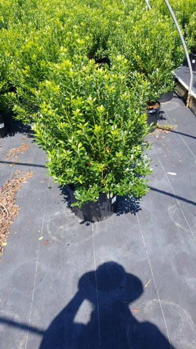 Ilex glabra 'Densa' - 5 Gal. Crop Shot for 2020-34