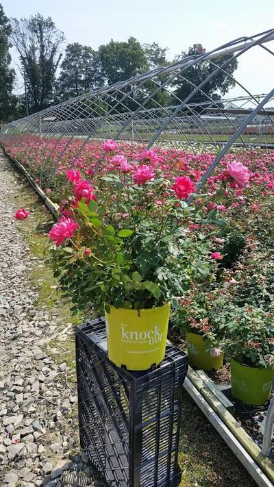 Rosa 'Double Pink Knockou't - 2 Gal. Crop Shot for 2019-36