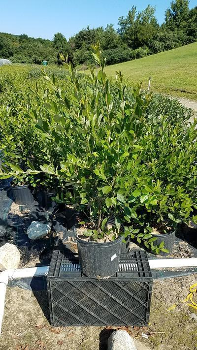 Aronia arbutifolia 'Brilliantissima' - 3 Gal. Crop Shot for 2019-31