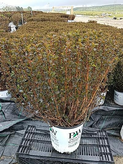 Physocarpus opulifolious 'Tiny Wine' - 2 Gal. Crop Shot for 2020-20