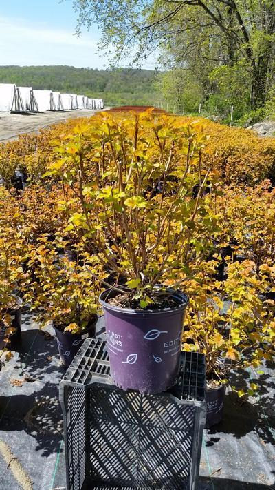 Physocarpus opulifolius 'Amber Jubilee™' - 2 Gal. Crop Shot for 2019-18