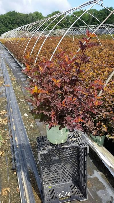 Physocarpus opulifolious 'Center Glow' - 2 Gal. Crop Shot for 2019-27