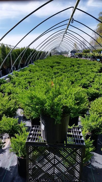 Juniperus chinensis sargentii 'Viridis' - 2 Gal. Crop Shot for 2019-18