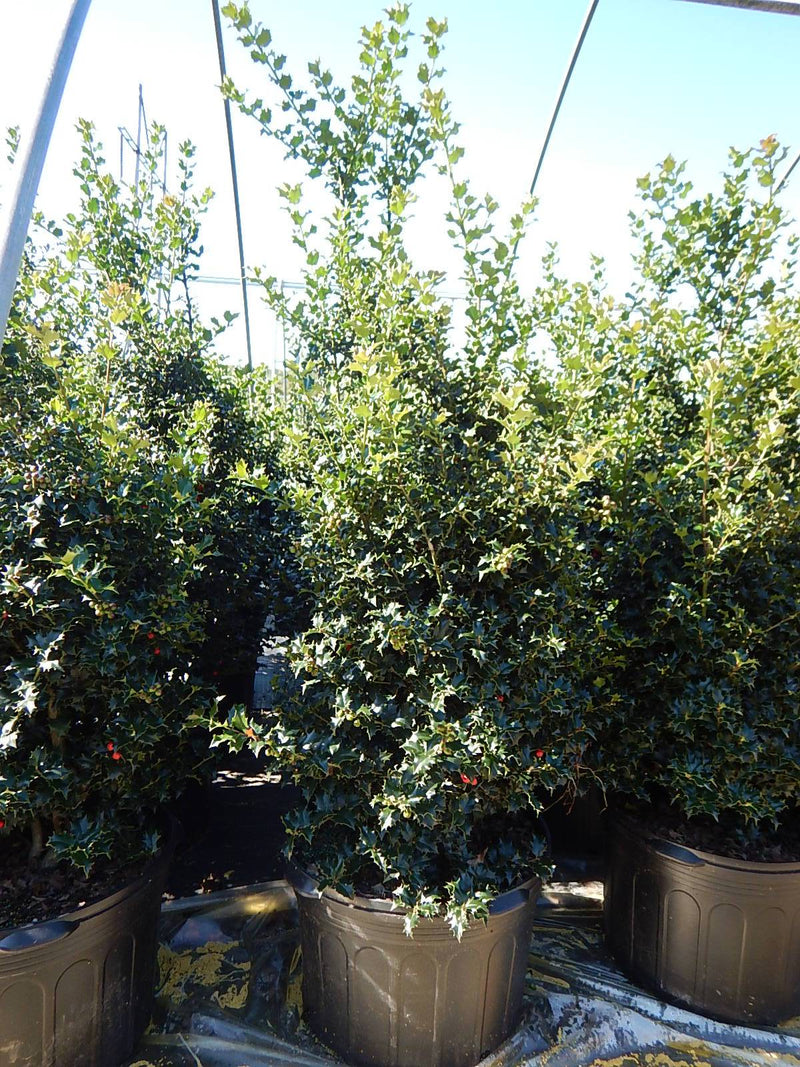 Ilex X rutzan 'Red Beauty' - #5 Crop Shot for 2017-40