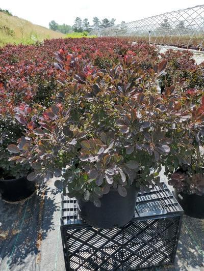 Cotinus coggygria 'Velveteeny™' - 5 Gal. Crop Shot for 2020-27