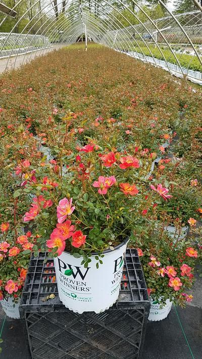 Rosa 'Oso Easy® Hot Paprika™' - 2 Gal. Crop Shot for 2019-19