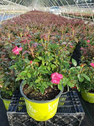 Rosa Knockout - 3 Gal. Crop Shot for 2020-32