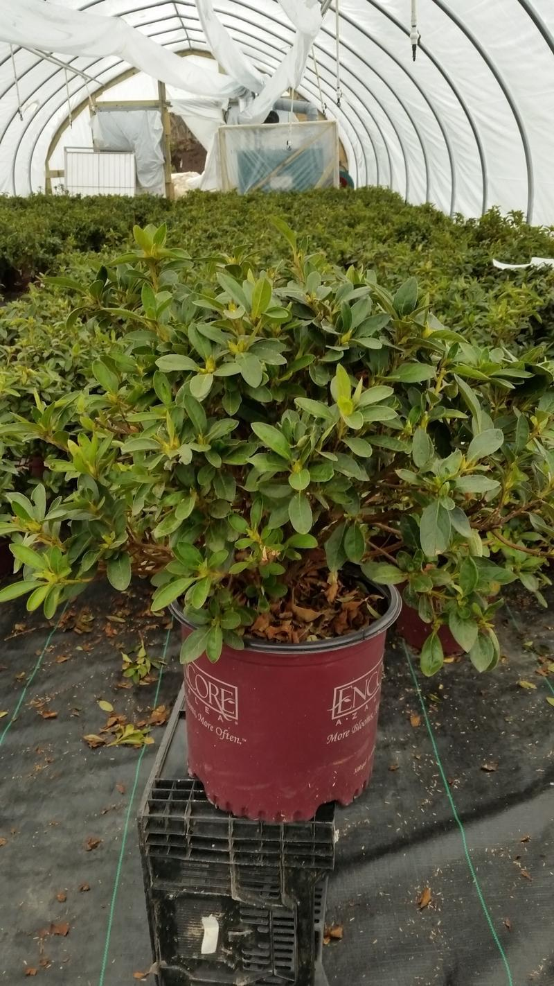 Rhododendron (Azalea) Encore® 'Autumn Lily™' - 3 Gal. Crop Shot for 2019-14