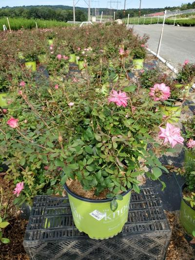 Rosa 'Double Pink Knockout' - 3 Gal. Crop Shot for 2020-35