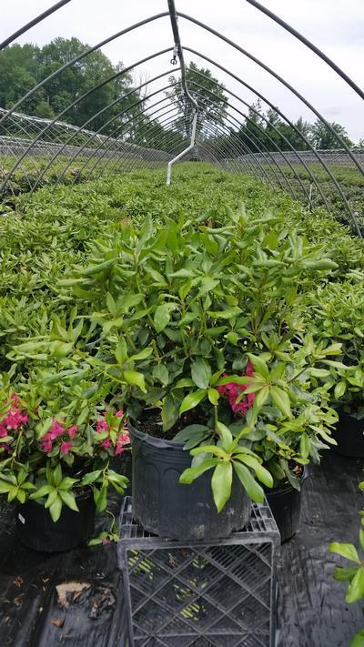 Rhododendron catawbiense 'Nova Zembla' - 5 Gal. Crop Shot for 2019-22
