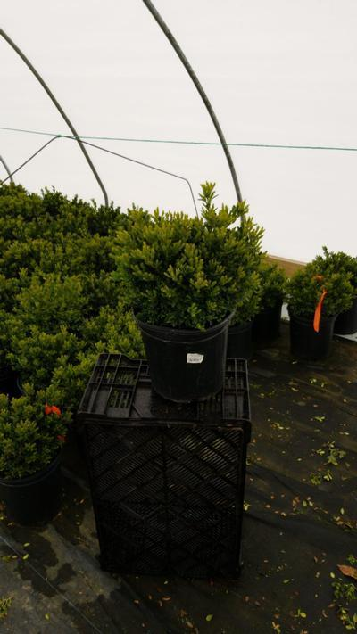 Buxus microphylla var. japonica 'Green Gem' - 2 Gal. Crop Shot for 2020-17