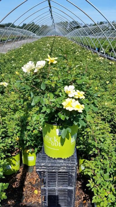 Rosa 'Sunny Knockout' - 2 Gal. Crop Shot for 2019-32