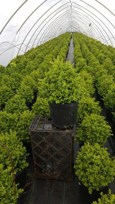 Buxus microphylla var. japonica 'Green Mountain' - 3 Gal. Crop Shot for 2020-19