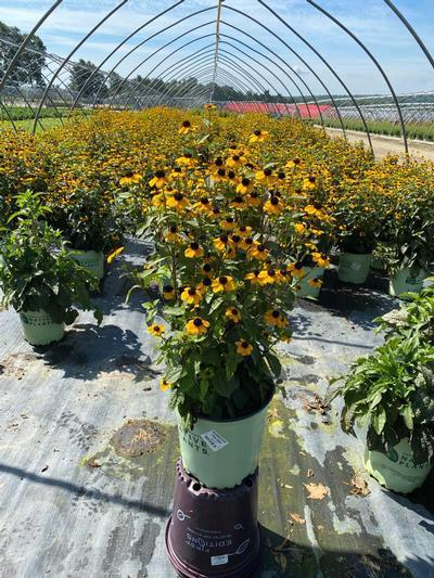 Rudbeckia triloba - 2 Gal. Crop Shot for 2020-33