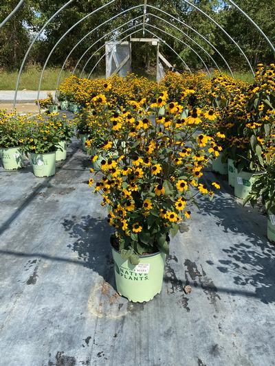 Rudbeckia triloba - 2 Gal. Crop Shot for 2020-36