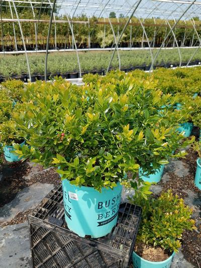 Vaccinium 'Blueberry Glaze' - 2 Gal. Crop Shot for 2019-27
