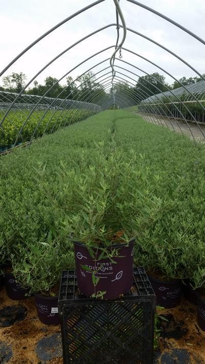 Caryopteris x clandonensis 'Sapphire Surf™' - 3 Gal. Crop Shot for 2019-33