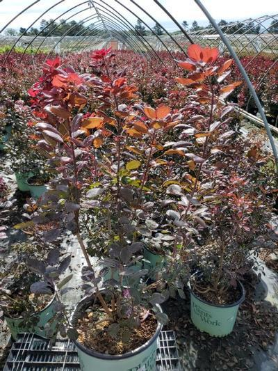 Cotinus cogg. 'Velveteeny' - 3 Gal. Crop Shot for 2020-35