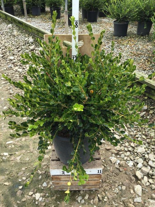 Buxus microphylla 'Winter Gem' - 3 Gal. Crop Shot for 2020-34