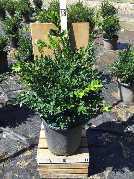 Buxus microphylla 'Green Velvet' - 2 Gal. Crop Shot for 2020-34