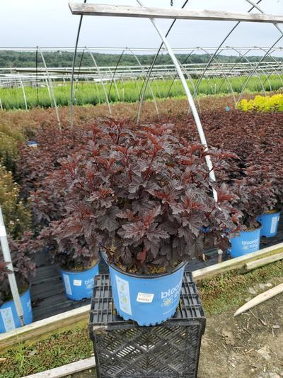 Physocarpus op. Panther® NEW - 3 Gal. Crop Shot for 2020-35