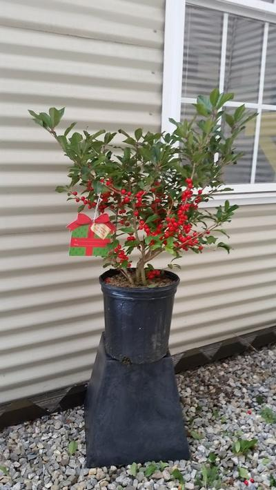 Ilex verticillata 'Red Sprite' - 2 Gal. Crop Shot for 2019-45
