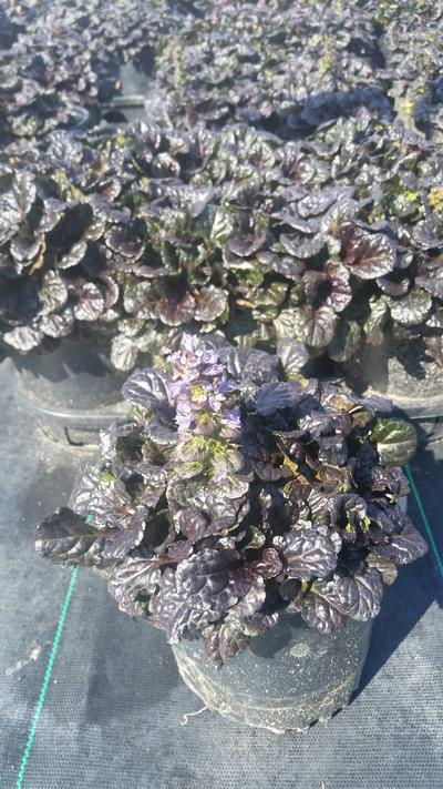 Ajuga reptans 'Black Scallop' - 1 Gal. Crop Shot for 2019-34