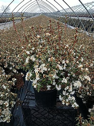Rhododendron x 'Sugar Puff' - 3 Gal. Crop Shot for 2020-16