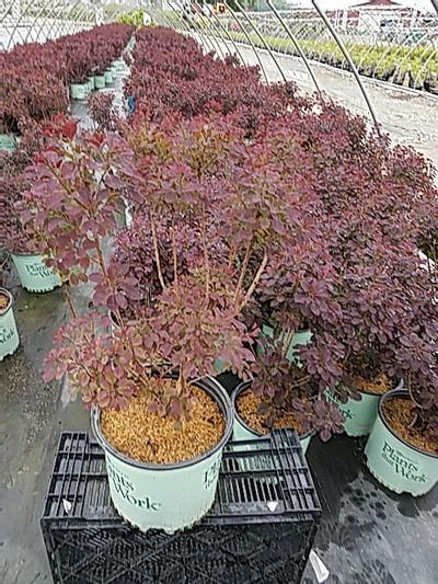 Cotinus cogg. 'Velveteeny' - 3 Gal. Crop Shot for 2020-22