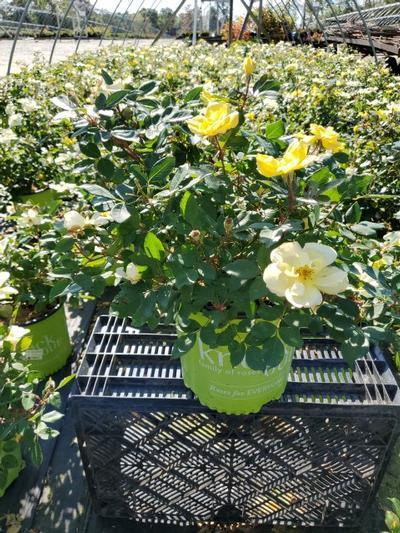 Rosa 'Sunny Knockout' - 2 Gal. Crop Shot for 2020-39