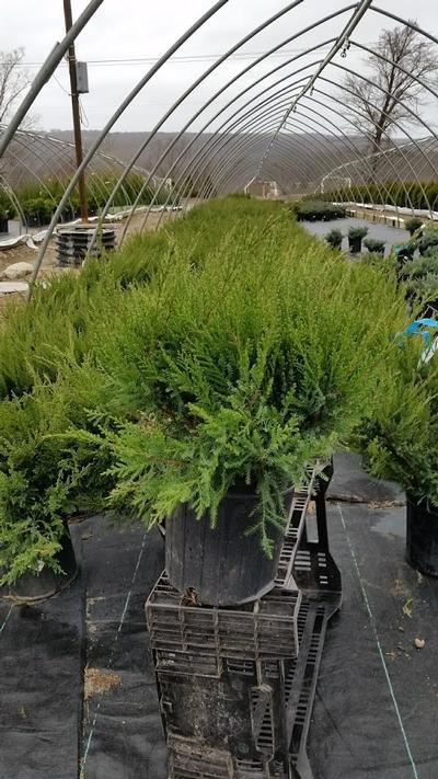 Juniperus chinensis 'Sea Green' - 2 Gal. Crop Shot for 2019-16