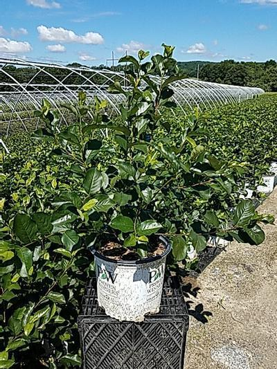 Aronia 'Lo Scape Hedger™' - 3 Gal. Crop Shot for 2020-26
