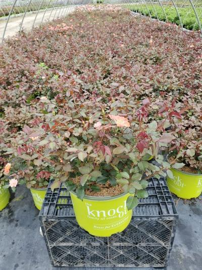 Rosa Coral Knock Out® - 3 Gal. Crop Shot for 2020-31