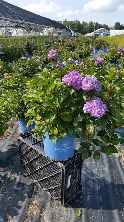 Hydrangea macrophylla Endless Summer® 'Bloomstruck' - 3 Gal. Crop Shot for 2019-33